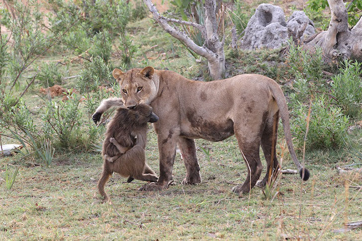 a-lioness-captures-a-baby-baboon-and-does-the-last-thing-youd-expect_1